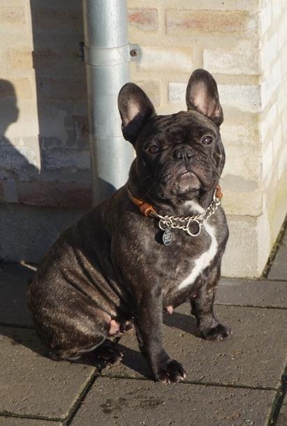 fransk bulldog hvalp